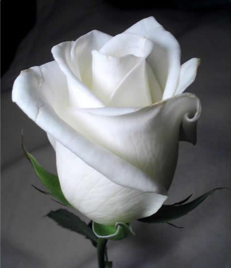 Magia para conquistar com a Rosa Branca