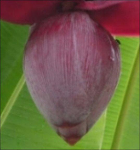 Xarope de Umbigo de Bananeira para curar a Bronquite